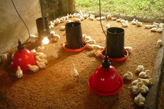 Proyecto de Pollos de Engorde en beneficio de los niños y niñas (Dic. 2013)