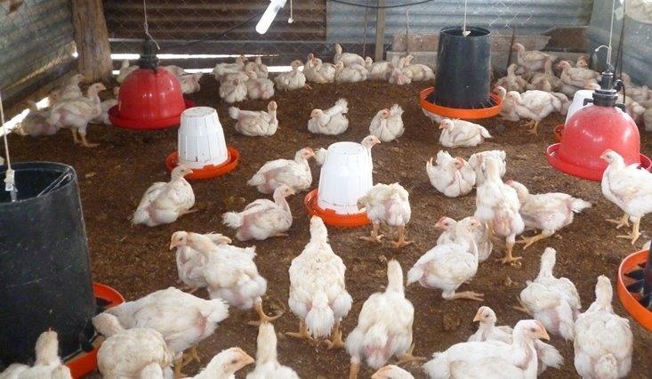 Producción de Pollos de Engorde